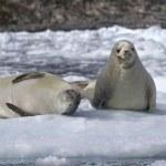 duas caranguejeiras foca em um bloco de gelo — Foto Stock #47766683