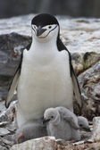 Female and two chicks Antarctic penguin in the nest — 图库照片