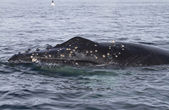 Humpback whale's head pop to the surface in waters — Stockfoto
