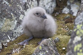 South Polar skua chick in the nest — Stockfoto