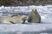 Two crabeater seal on an ice floe — Stock Photo