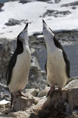 Male and female Antarctic penguin mating season the nest — Stockfoto