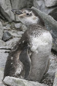 Magellanic penguin moulting among the rocks — Stock Photo