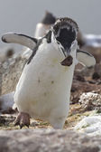 Moulting Antarctic penguin who is a stone in the nest during the — Stock Photo