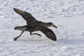 Southern giant petrel during takeoff from the ice fields of Anta — Stok fotoğraf