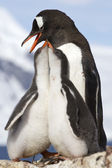 Two chicks and female Gentoo penguins at feeding time — Stok fotoğraf