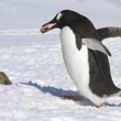 Gentoo penguin walking on snow and carrying a stone — Stock Photo #48259387