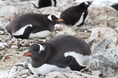 Gentoo penguins incubate in a colony on the Antarctic islands — Photo