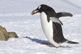 Gentoo penguin walking on snow and carrying a stone — Photo