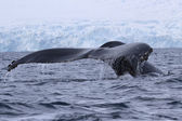 Humpback whale diving in the water off the Antarctic Peninsula — Stock Photo
