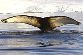 Humpback whale tail dived into the waters near the Antarctic Pen — Stockfoto