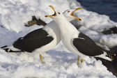 Two Dominican gulls crying during mating season — Stockfoto