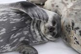 Weddell seal pup lying beside a female on the ice — Stock Photo
