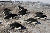 Adelie penguin colony on one of the Antarctic islands — Foto de Stock