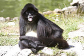 Spider monkey that sits on the shore of a small lake and showing — Stock Photo