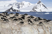 Adelie penguin colony on the rocks of one of the Antarctic islan — Photo