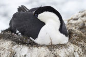 Antarctic blue-eyed cormorant sleeping during incubation laying  — 图库照片