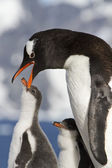 Gentoo penguin female that feeds the chick in the nest on a sunn — 图库照片