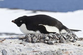 Female Adelie penguin incubate in the nest on the cliff top — Photo