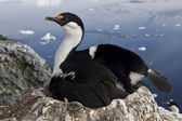 Antarctic blue-eyed cormorant which incubates the clutch on the  — 图库照片