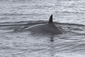 Back and fin minke a passing in Antarctic waters — Photo