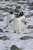 Gentoo penguin group coming from the colonies to the ocean — Photo