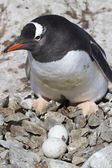Gentoo penguin female near the nest in which two eggs — 图库照片