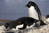 Male and female Adelie penguins at the nest in the colony — Stock Photo