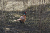 Male pheasant standing on a burnt lawn in early spring — Stock Photo