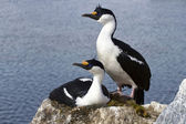 Male and female blue-eyed Antarctic shag at the nest in the colo — Fotografia Stock
