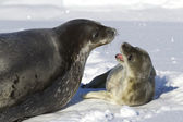 Female Weddell seal and her pup that growls — Stock Photo