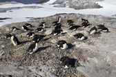 Adelie penguin colony on one of the sunny day Antarctic Islands — Foto Stock