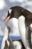 Female Gentoo penguins with open beak and chicks during feeding — Foto de Stock
