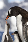 Female Gentoo penguins and chicks during feeding — Stock Photo