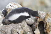Gentoo penguin chick who sleeps on the rocks near the colony — Photo