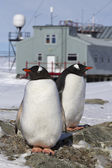 Male and female Gentoo penguins at the nest on the background of — Foto de Stock