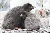 Two young chicks in the nest Adelie penguin — Stock Photo