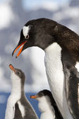 Gentoo penguin female is going to feed the chicks — Stock Photo