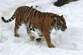 Siberian tiger walking on cloudy winter day — Stock Photo