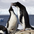 Ale and female Adelie penguins at the nest to greet each other — Stock Photo