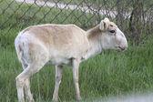 Female saiga aviary zoo early spring — Stock Photo