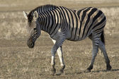 Chapman's zebra that goes through the autumn steppe — Stock Photo