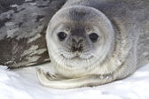 Little pup Weddell seals which lies near the female — Stock Photo