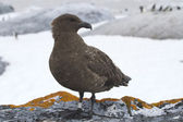 Antarctic Skua standing on a rock on a background of the Adelie  — Foto de Stock
