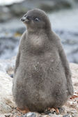 Adelie penguin chick near the nest sunny summer day — Stock Photo