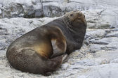 Male Antarctic fur seal that rests on the rocks  — Stockfoto