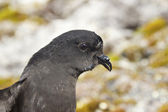 Portrait of Wilson's storm petrels Antarctic summer — 图库照片