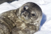 Recently born pup Weddell seals which lies on her back — Stock Photo