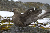 South Polar Skua near the nest during the breeding season — 图库照片