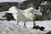 White morph of the southern giant petrel who eats Adelie penguin — Stock fotografie